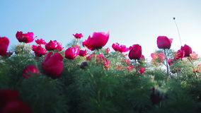 Promienie słońce są widoczni przez płatków dziki peonia kwiat zbiory wideo
