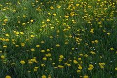Promienie wiosny słońca spadek na dandelion kwitną Fotografia Stock