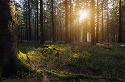 promienieje lasowego słońce Fotografia Royalty Free