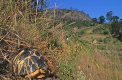 promieniujący tortoise Obrazy Royalty Free