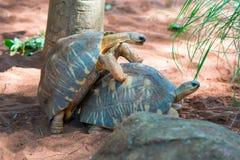 Promieniujący Tortoise Fotografia Royalty Free