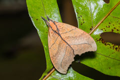 Prominent moth on green leaf Stock Image
