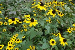 Prominent yellow cone shaped flowerheads of rudbeckia. Prominent yellow cone shaped flower heads of rudbeckia Royalty Free Stock Photo