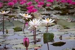 Prominente entre el loto blanco y rosado Imagenes de archivo