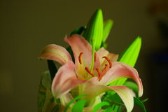 Promise of a lily. A beautiful lily in bloom Royalty Free Stock Images