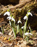 Promise of Spring. Blooming Snowdrops in late winter, the promise of Spring and renewal Royalty Free Stock Photography