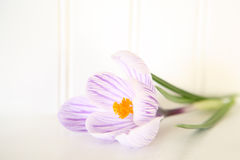 Promise of Spring. A high key image of a crocus flower Royalty Free Stock Photos