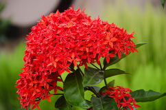 Promptness of red. Flower, the symbol of beauty Stock Image