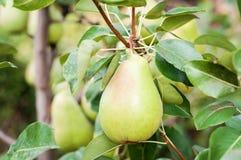 Päron på trädet Arkivfoton