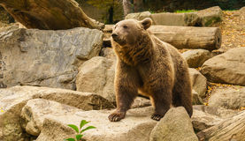 Proness in Brown Fur. One of my favorite species. The irony being a ferocious animal you want to hug Stock Images