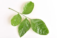 Prong Fah (thai name), Clausena Heptaphylla (Murraya siamensis Craib.). Stock Photo