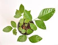 Prong Fah (thai name), Clausena Heptaphylla (Murraya siamensis Craib.). Stock Photography