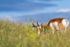 Prong horn antelope Royalty Free Stock Photos