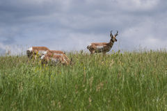Prong horn antelope Stock Images