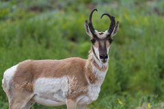 Prong horn antelope Royalty Free Stock Photography