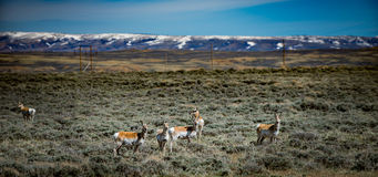 Prong Horn Antelope Wyoming USA stock image