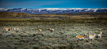 Prong Horn Antelope Wyoming USA royalty free stock photo
