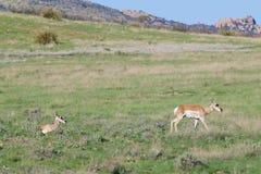 Pronghorn在大草原做 免版税库存图片