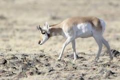 Pronghorn, αρσενικό, που βόσκει στο λιβάδι Στοκ Εικόνες