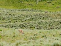 Pronghorn σε Yellowstone Στοκ Εικόνες