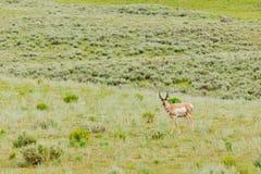 Pronghorn σε Yellowstone Στοκ εικόνες με δικαίωμα ελεύθερης χρήσης