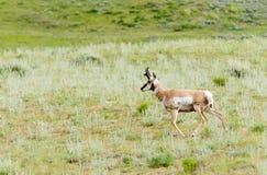 Pronghorn σε Yellowstone Στοκ Φωτογραφίες