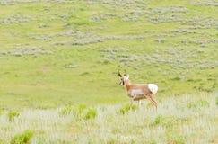Pronghorn σε Yellowstone Στοκ φωτογραφία με δικαίωμα ελεύθερης χρήσης