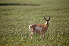 pronghorn антилопы Стоковые Фото