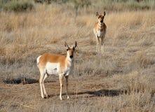 pronghorn антилопы Стоковая Фотография