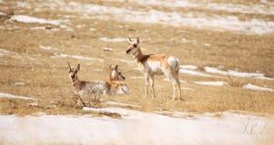 Pronghorn делает в снеге Стоковое Изображение RF