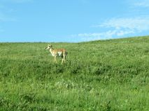 Pronghorn на травянистом горном склоне Стоковое фото RF