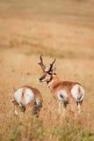 pronghorn пар антилопы Стоковая Фотография RF