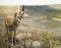 pronghorn самеца оленя стоковые изображения rf
