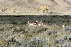 Pronghorn (美国的叉角羚属) 免版税库存照片
