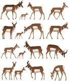 pronghorn stock illustrationer