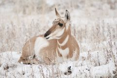 Pronghorn Stock Image