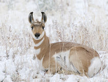 Pronghorn Stock Photo