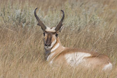 Pronghorn stock images
