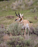 Pronghorn Royalty Free Stock Photo