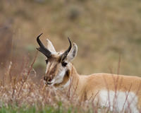 Pronghorn Imagens de Stock Royalty Free