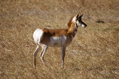 Pronghorn Royalty-vrije Stock Foto