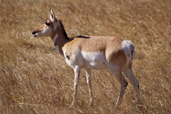 Pronghorn Foto de Stock Royalty Free