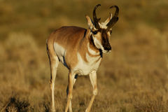 pronghorn Obrazy Royalty Free
