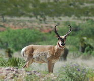 Pronghorn Photographie stock