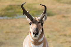 pronghorn Photo stock