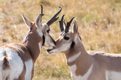 pronghorn Image stock