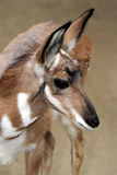 Pronghorn Stock Photos