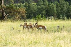 Pronghorn `American Antelope` Doe In Custer State Park Royalty Free Stock Photography