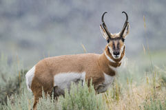 Pronghorn (americana Antilocapra) arkivfoto