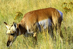 Pronghorn antelope-1 Royalty Free Stock Image